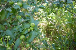 Guava along Kapalua Village Trails