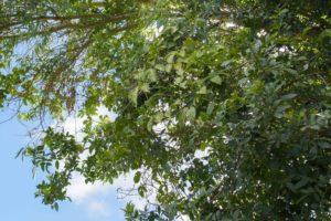 Passion Fruit Vines at Kapalua Village Trails
