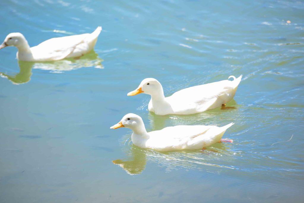 White Ducks at Kapalua Village Trails