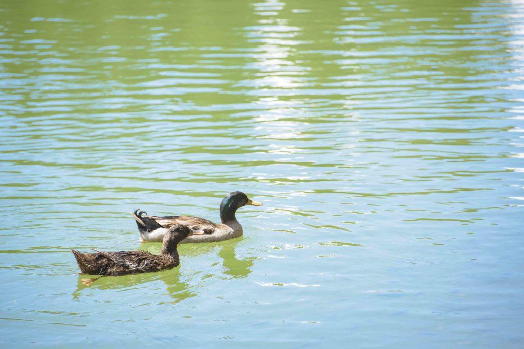 Mallard Ducks at Kapalua Village Trails