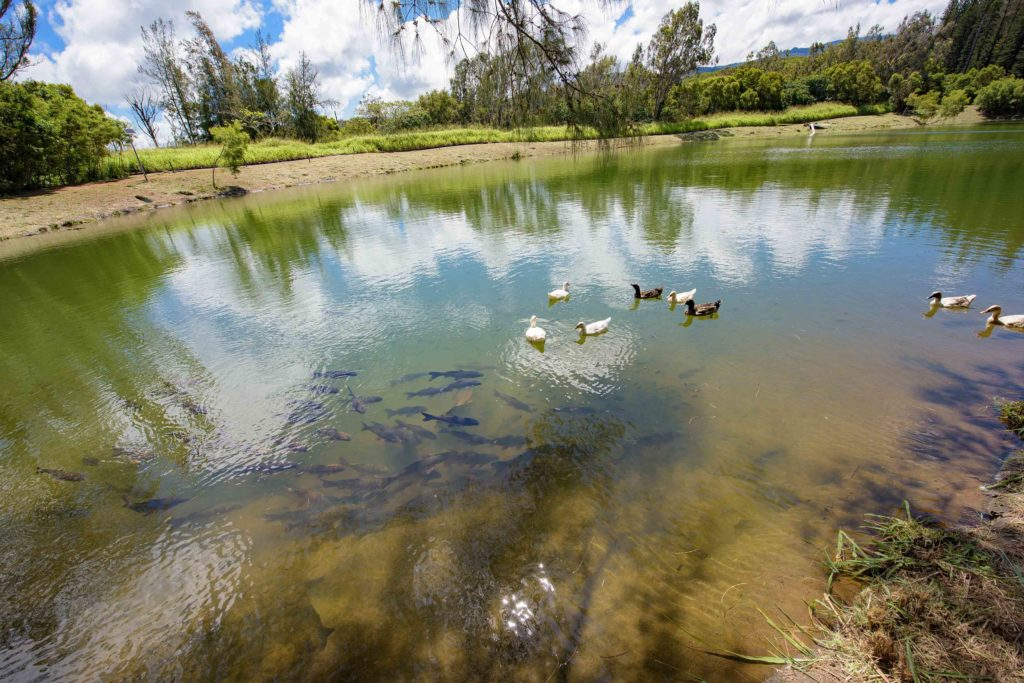 The Ducks and Fish at Kapalua Village Trails