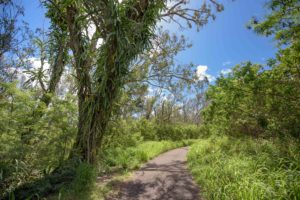 Dragon Fruit Vines at Kapalua Village Walking Trails