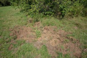 Signs of Wild Pigs at Kapalua Village Walking Trails