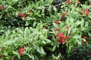 Wild Pepper on Kapalua Village Trails