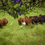 Upcountry Cattle Maui