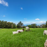Country Fields Maui with Goats